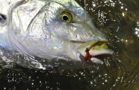 Golden Trevally on Fly