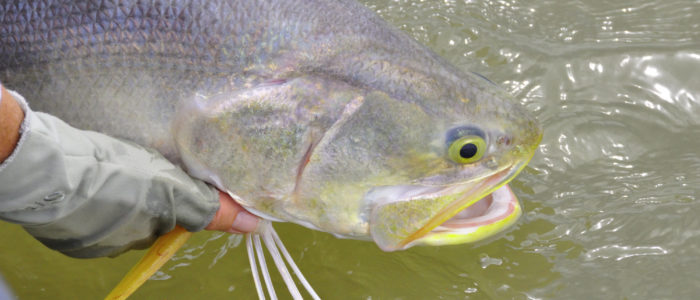 King Threadfin being released