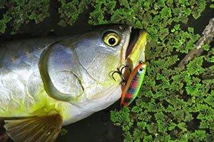 Freshwater Saratoga fishing